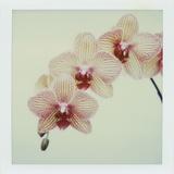 Balkan Kaleidoscope Orchid
