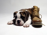 Portrait of English bulldog puppy with boot