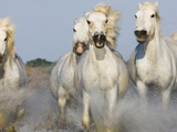Camargue horses running in marsh