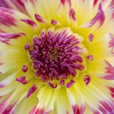 Yellow and red speckled dahlia