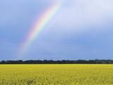 Rainbow and Canola  Morris  Manitoba  Canada