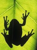 Silhouette of an Eastern Tree Frog (hyla Versicolor) Clinging to a Leaf  Walden  Ontario  Canada