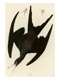 Frigate Pelican