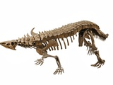 Skeleton of a Desmatosuchus from the late Triasssic