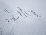 Flock of Black-headed gull flying in blizzard