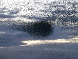 Mass of Starlings flying at twilight