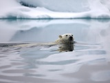Polar Bear Swimming in Svalbard Islands