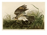 Winter Hawk Giclée par John James Audubon