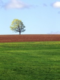 Lone Tree Blowing in Wind Near Sussex  New Brunswick  Canada
