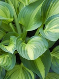 Hosta &#39;Joyce Trott&#39;