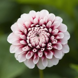 Pink Dahlia Tip Toe