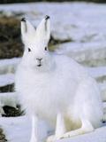 Adult Arctic Hare (Lepus Arcticus)  Banks Island  Northwest Territories  Arctic Canada