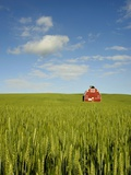 Red barn in field of green wheat