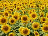Field of Sunflowers  Full Frame  Zama City  Kanagawa Prefecture  Japan