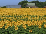 Sunflowers and Farm  Dugald  Manitoba  Canada