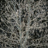 Tree with Seedpods at Night