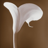 Calla Lily