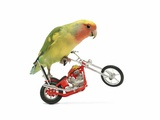 Rosy-faced lovebird perched on toy motorcycle do wheelie