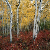 Aspen in autumn at Uinta National Forest