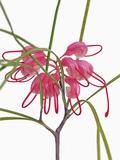 Pink Spider flower