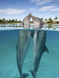 Atlantic Bottlenose Dolphins kissing