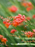 Raindrops on crocosmia x crocosmiiflora  or red king