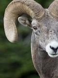 Bighorn Ram (Ovis Canadensis)  Logan Pass  Glacier National Park  Montana