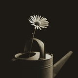 Single Daisy in Antique Watering Can