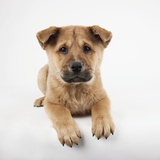 Reclining Puppy