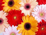 Gerbera daisies
