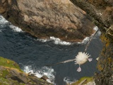 Northern Fulmar diving off cliff over water