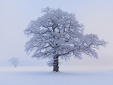 Oaks in winter landscape