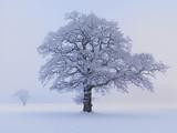 Oaks in winter landscape