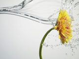 Water Splashing Daisy