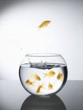 Goldfish jumping out of a bowl and escaping from the crowd
