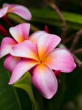 Blossoms of Plumeria  or Frangipani  Cultivated for Lei Garlands