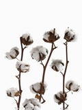 Cotton plant (Gossypium) close-up