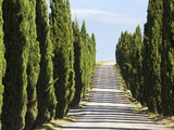 Cypress trees lining a dirt road