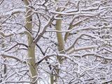Trembling Aspens (populus Tremuloides) in Winter  Sudbury Ontario  Canada