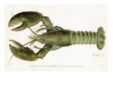 American Lobster (Homarus Americanus