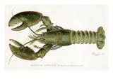 American Lobster (Homarus Americanus