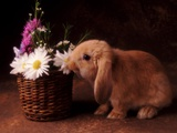 Bunny Smelling Basket of Daisies