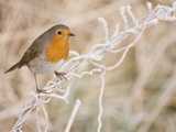 European robin perched on frost covered grass