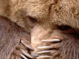 Sad Grizzly Bear