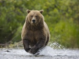 Brown bear running to catch salmon in a river