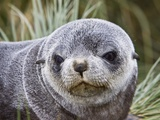 Antarctic Fur Seal (Arctocephalus gazella) pup on Prion Island in the Bay of Isles on the island of