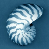 Nautilus Shell