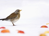 Fieldfare standing among apples in the snow