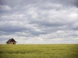 Barley Field and Abandoned Farmhouse  Raymore  Saskatchewan  Canada