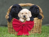 Black and yellow labrador retriever puppies in basket with red bow